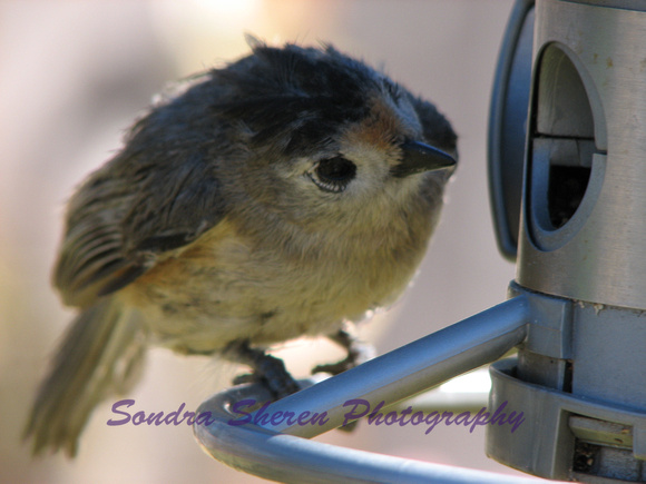 Baby  Black Crested Titmouse