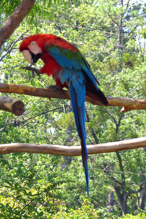 Macaw Red-blue.jpg